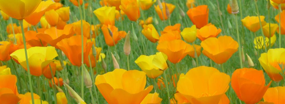 Kalifornischer Mohn, eine sommerlich strahlende Pflanze für die Beetgestaltung