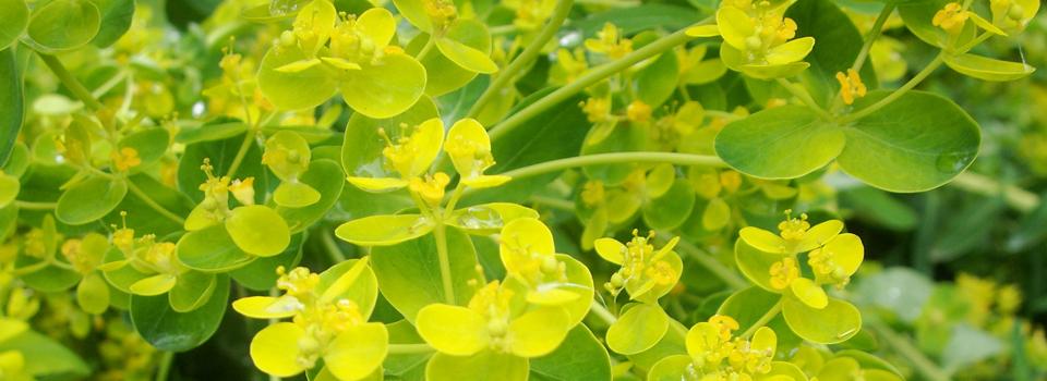 Wolfsmilch- Euphorbia