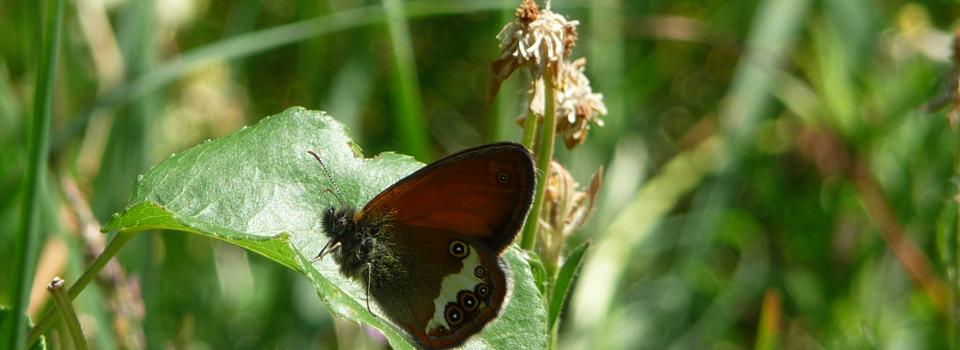 Brauner Schmetterling auf eine Wiese in Italien