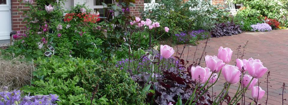 Staudenbeet mit rosa Tulpen und  rotem Purpurglöckchen - Therapiegarten im MCH ,Hamburg