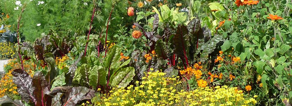 Bunter Mangold zusammen mit Tagetes und anderen Sommerblumen im Beet, BUGA in Schwerin