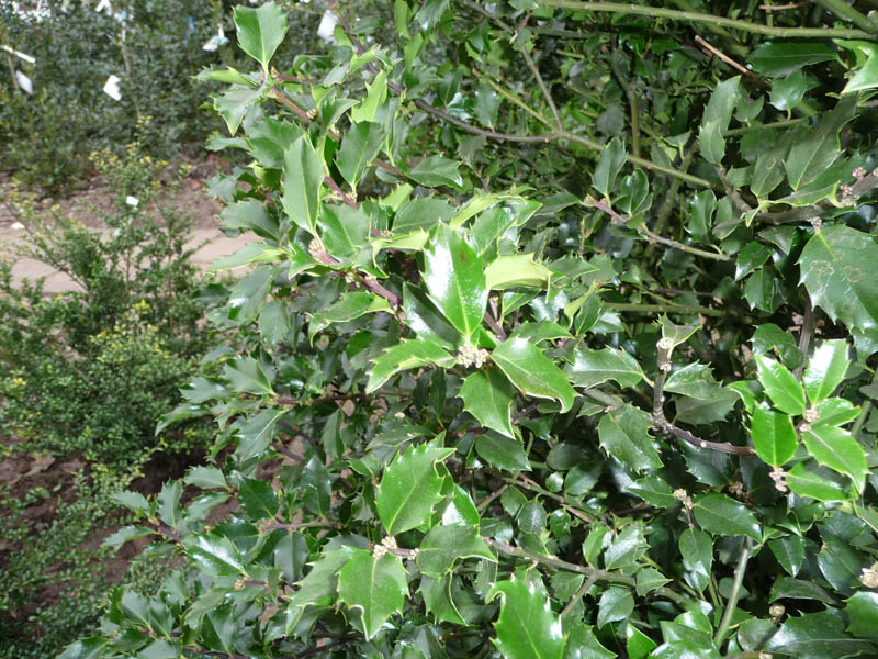 Stechpalmenblatt
