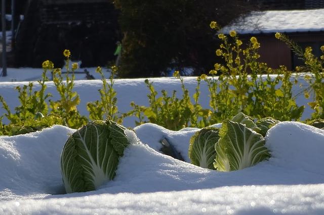 Kohl ist frostfest