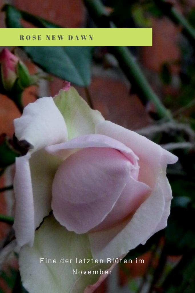 Rose ´New Dwan´
