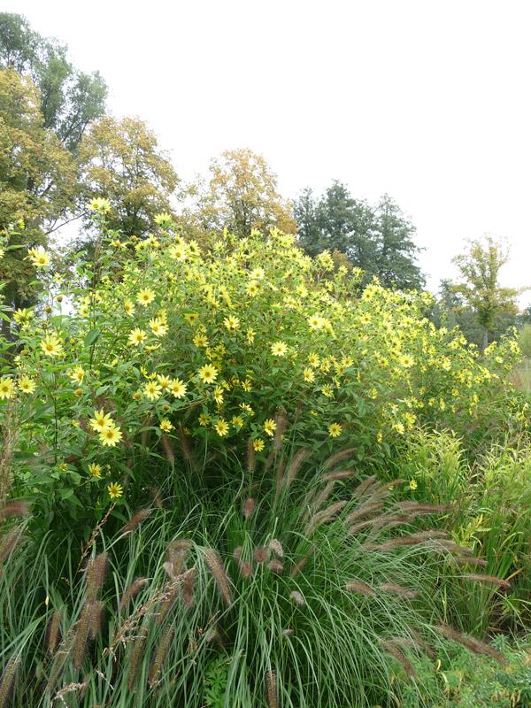 Staudensonnenblume Herbstblüher