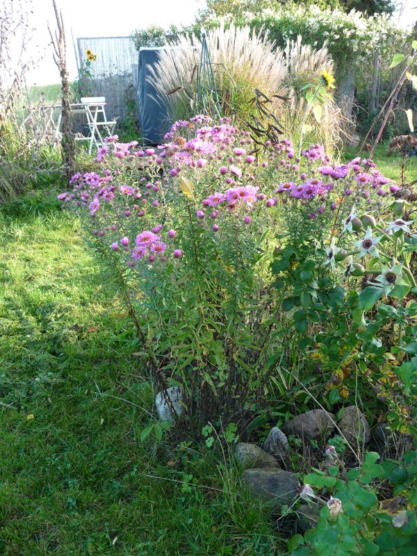 Herbstblüher Raublattaster