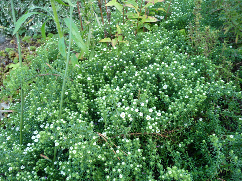 herbstblüher Aster panus ´Snowflurry´