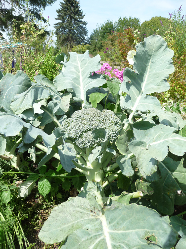 Brokkolisalat aus eigenangebautem Brokkili