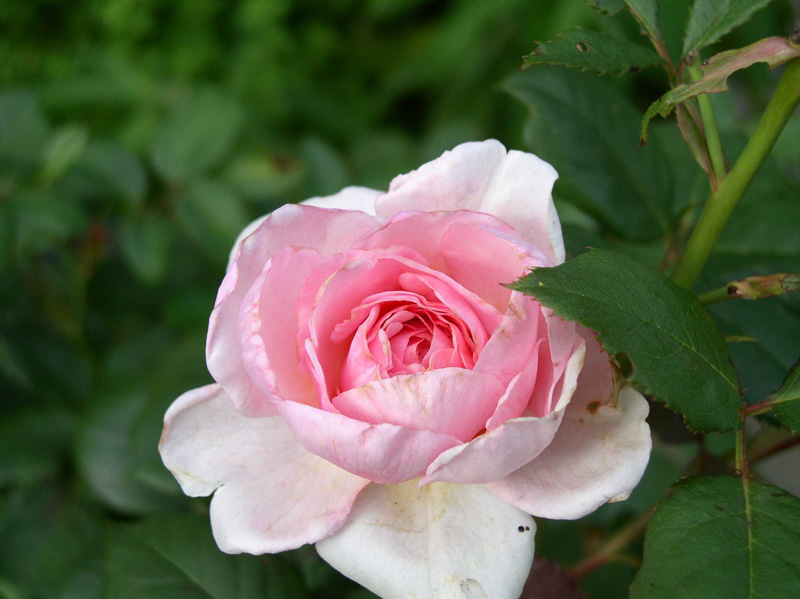 Aktiverungsangebot Rose