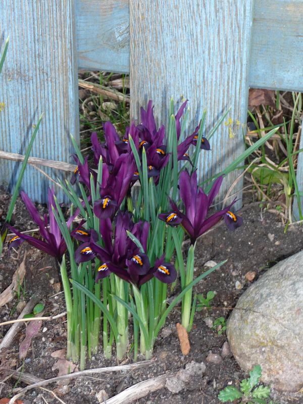 Flowerpower mit Iris reticula