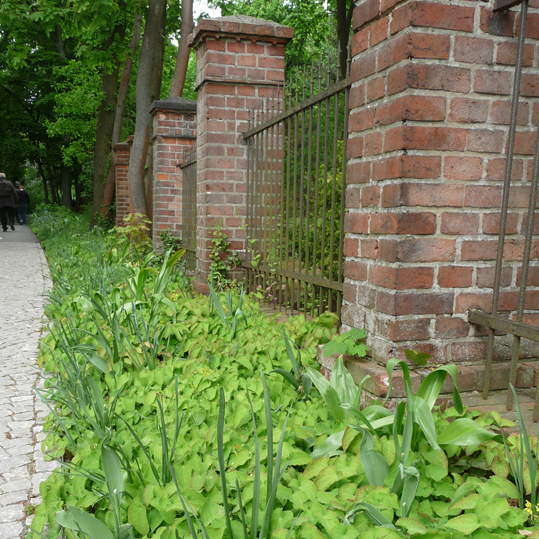 Elfenblume vor Mauer