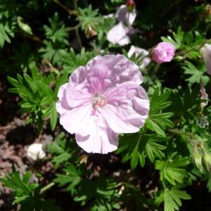 Bodendecker_Geranium-sanguineum-var.-striatum-Apfelblüte