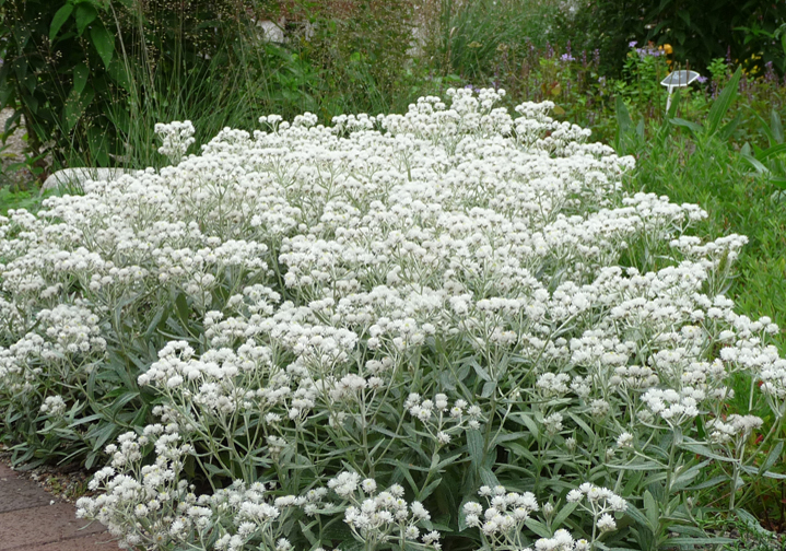 Teppicaster_Aster pansus ´Snow Flurry´