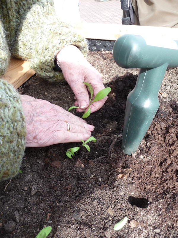 Gärten für Senioren Jungpflanzen setzen
