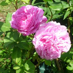 Doppelte Blüte der Rose Gertrud Jekyll