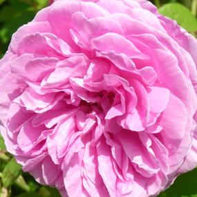 Rose Gertrud Jekyll_Einzelblüte