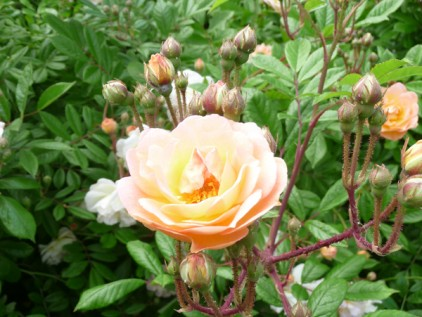 Rose Ghislane de Feligonde