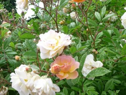 Blütenstand der Rose Ghislane de Feligonde