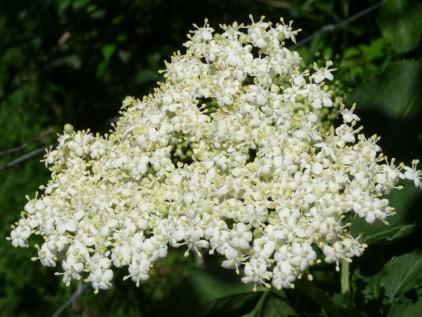 Webinar Duftpflanzen Holunderblüte
