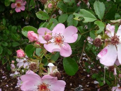 Einfache Blüte_Rose Pink Haze