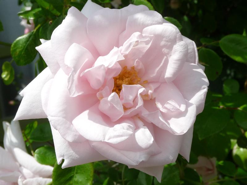 Rosen_Blüte der Kletterrose New Dawn