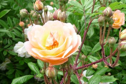 Einzelblüte Ghislane de Feligonde
