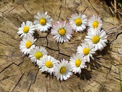 Herz aus Gänseblümchen