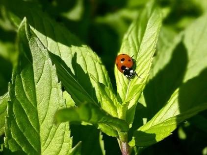Grundkurs Gartentherapie Minzblatt mit Marienkäfer