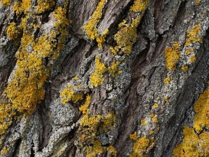 Sinnesgarten Baumrinde mit gelben Flechten