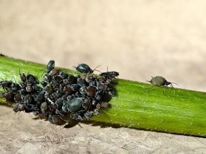 Pflanzenjauche Läuse auf Stengel