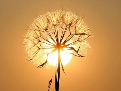 Naschbalkon Sonne hinter Löwenzahnblüte