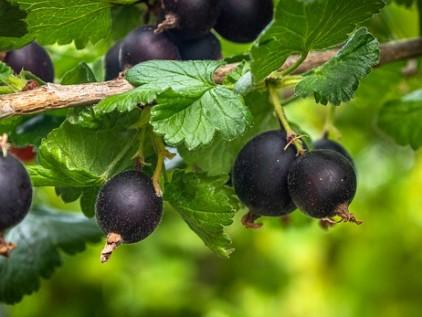 Naschbalkon schwarze Johannisbeerenn