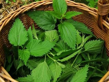 Pflanzenjauche Korb mit Brennesseln