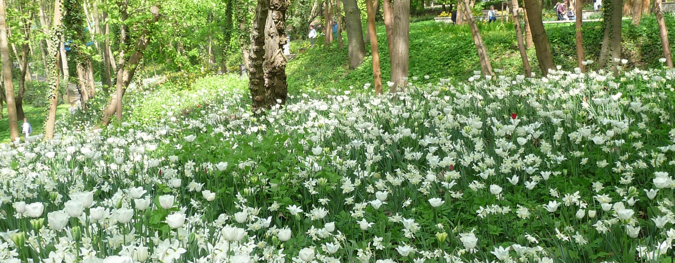 weißblühende Blumenzwiebln unter Bäumen