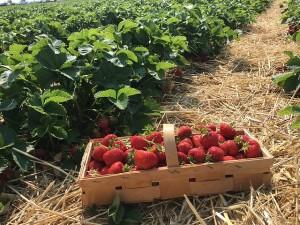 Stroh als Mulchmaterial im Erdbeerbeet