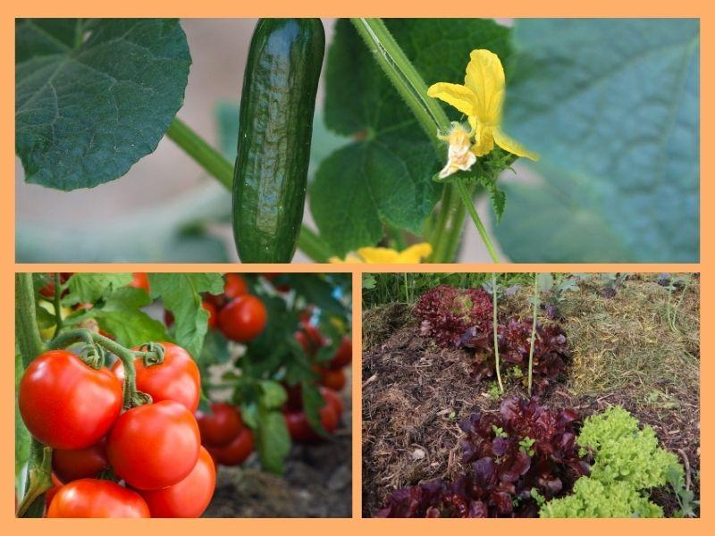 Gemüse im Kinderbeet