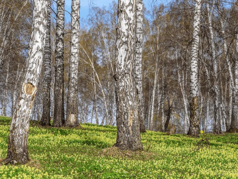 Gelbe Wildblumen unter Birke