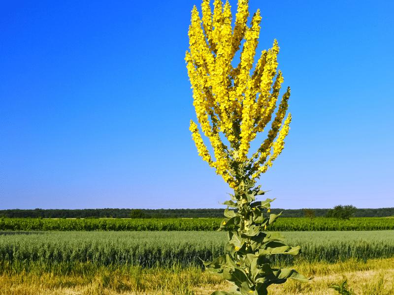 Königskerze - gelbe Wildstaude