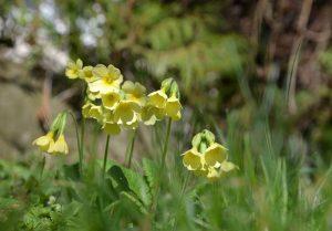 Schlüsselblume gelbe Wildblumen