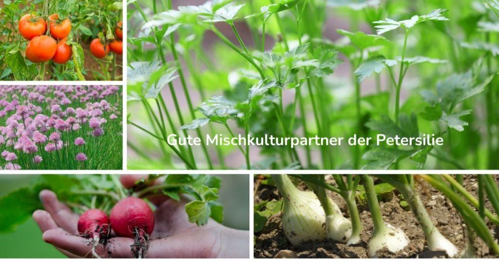 Petersilie pflanzen Mischkulturpartner